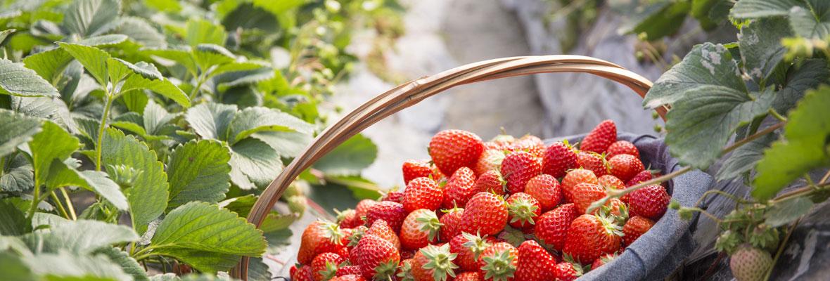 孩子,草莓真不是长在树上的!